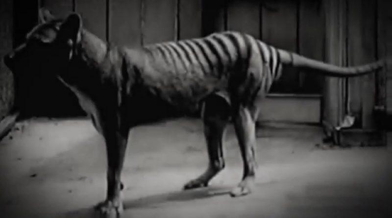Последний сумчатый волк на Земле (1936)