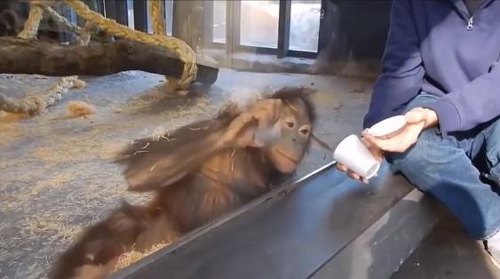 Реакиция на фокус орангутанга