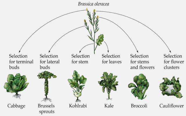 Сорта капусты